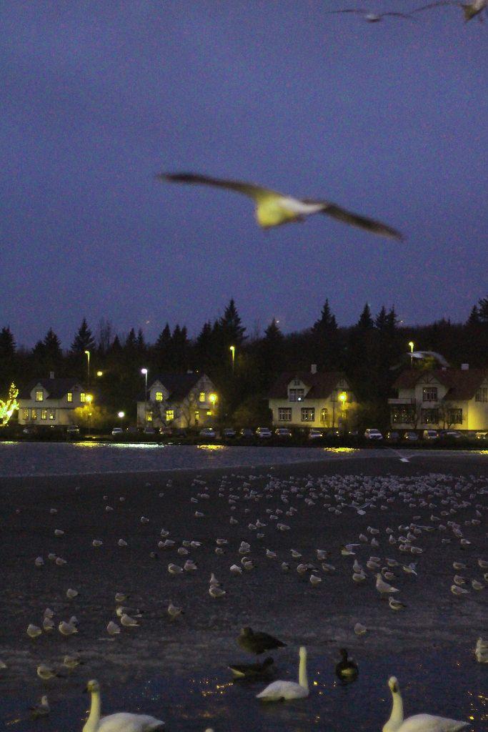 incontournables-islande-reykjavik-le-port-oiseaux
